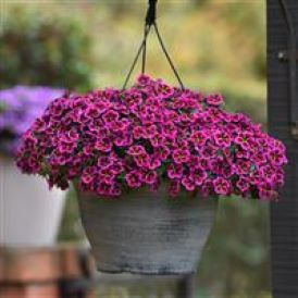 Hanging Baskets Category Image