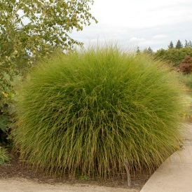 Gracillimus Miscanthus Product Image