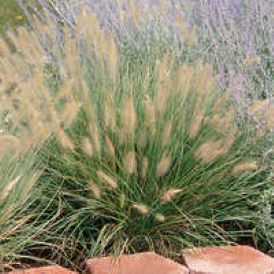 Hameln Fountain Grass Product Image